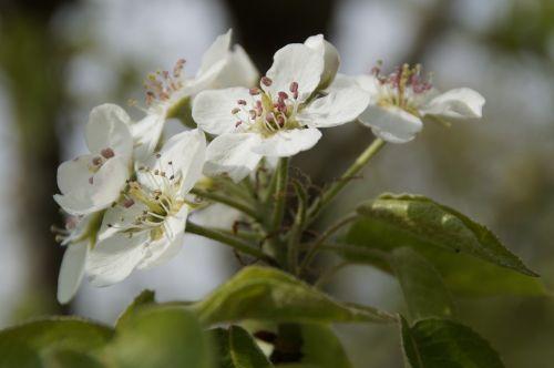 obuolių žiedas,žiedas,žydėti,žiedas,Obuolių medis,baltas žiedas,pavasaris,vaismedis,obelų gėlės,Gegužė
