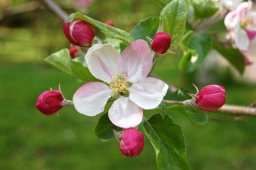 obuolių žiedas,žiedas,žydėti,žiedas,obelų gėlės