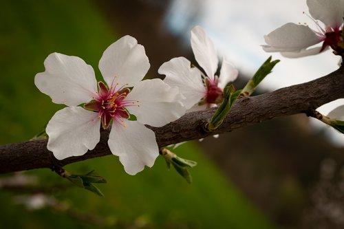 obuolių žiedų, pavasaris, žiedas, žydi, rožinis, obuolių žiedų, Apple Tree gėlės, obelis ziedai