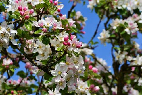 obuolių žiedų, Obuolių medis, Medžių žiedų, gėlė, augalų, pobūdį, gėlės, pavasaris, žiedas, pavasario žiedai
