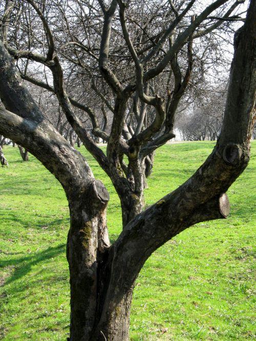 obuolių & nbsp, vaismedžių sodas, pavasaris, gamta, vaisių sodas, vaisiai, medis, medžiai, sodas, Žemdirbystė, ūkininkavimas, obuolių sodas