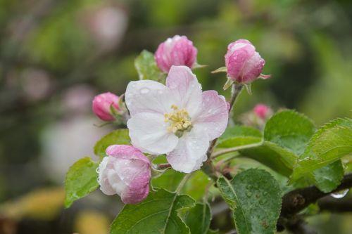 obelų žiedas,obuolių žiedas,Obuolių medis,žiedas,žydėti,gamta,Uždaryti,žiedas,žydėjo,rožinis,vaismedis,filialas