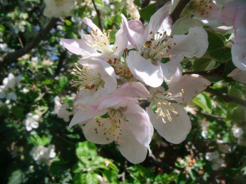 pavasaris, obuolys, medis, gėlė, gėlės, makro, priartinti, rožinis, balta, obelų gėlės