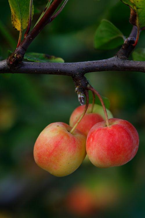 obuoliai,trio,mažas