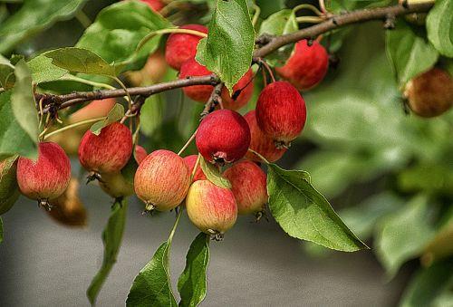 obuoliai,vaisiai,dangūs obuoliai,maži obuoliai,miniatiūriniai obuoliai,obuolys,liūdnas,žalias,raudona,vaisių auginimas,gamta,filialas,lapija