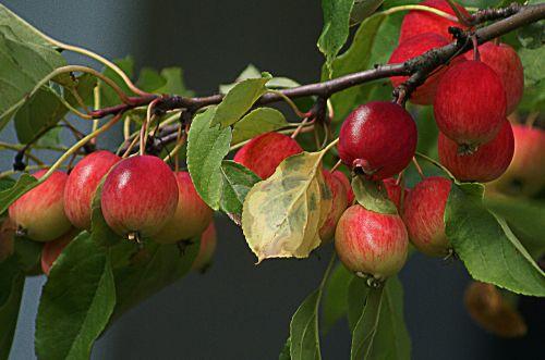 obuoliai,rojaus medis,maži obuoliai,filialas su obuoliais,vaismedžių medis,vaisinga obelinė,vaisius ant medžio,prinokę vaisiai,prinokę obuoliai