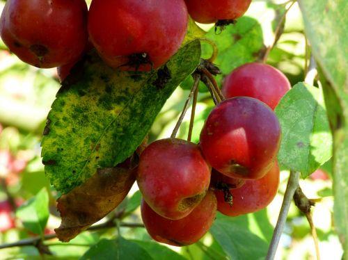 obuoliai,ornamentiniai obuoliai,vaisiai,sodas,gamta,žalia lapija,lapai,ruduo,Obuolių medis