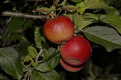 obuoliai,sodas,vakaras