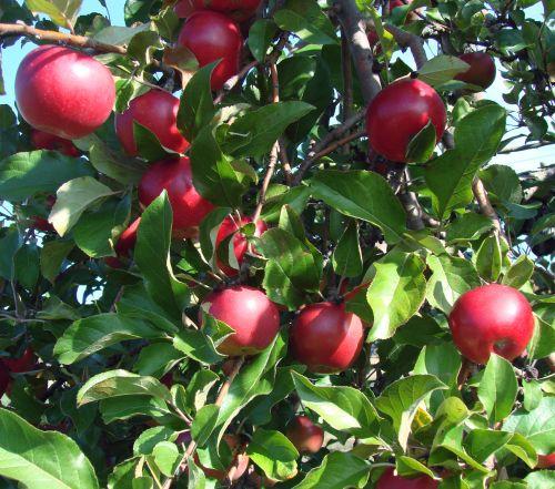obuoliai, šviesus, raudona, medis, gamta, lapai, obuoliai obuoliai