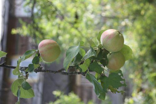 obuoliai filiale,obuolių sodas,obuoliai,vaisiai