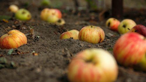 obuoliai, bio, maistas, žaliavinis, obuoliai & nbsp, žemės, obuolys, laukiniai, obuoliai ant žemės