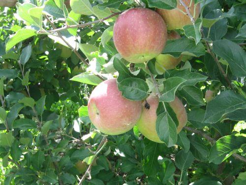 obuoliai, vaisių sodas, vaisiai, medis, prinokę, ruduo, kritimas, derlius, obuoliai ant medžio