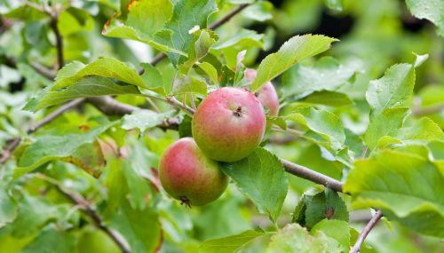 obuoliai, obuolys, šviežias, medis, vaisiai, maistas, nuotrauka, vaizdas, lapija, lapai, obuoliai ant medžio