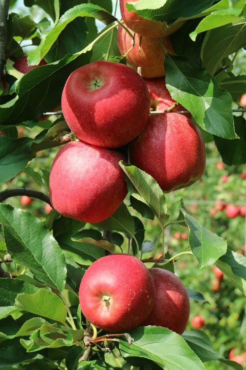 obuoliai valtellina,obuoliai,lombardija,gražūs obuoliai,raudonas obuolys,italy,vaisiai,maisto produktai,gamta,medis,augalas,raudoni vaisiai,ispanų,raudona
