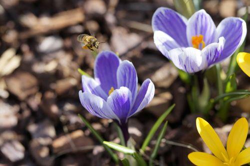 metodas,bičių požiūris,žiedadulkės,žiedas,žydėti,vabzdys,apdulkinimas,Crocus,pavasaris,rinkti žiedadulkes,surinkti,žydėti,gėlės