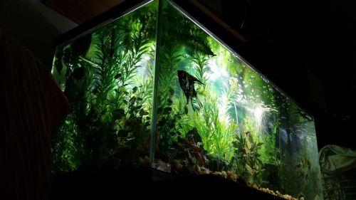 akvariumas, žuvis, žalias, burbuliukai, angelas, siluetas, rezervuaras, vanduo, akvariumas