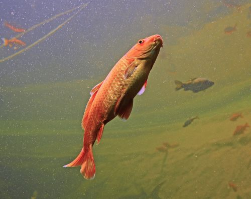 akvariumas,žuvis,oranžinė,spalvinga,plaukti,povandeninis pasaulis,didelis akvariumas