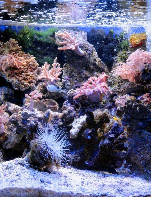 akvariumas, Jūrų akvariumas, rifai, rifas akvariumas, Actinium, Anemone, Sea Anemone, Povandeninis pasaulis, pobūdį, po vandeniu, jūra, Jūros dugnas, iš apačios, ne žmogus, čiuptuvai, Gražu, žuvis, jūrų žuvis, mėlynas