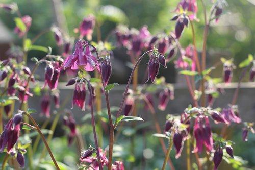 Aquilegia, Močiutės kapotas, Columbine, gėlė, augalų, žydi, gėlių, pobūdį, vasara, žalias, Botanikos, Sodas, pavasaris, žydi, botanika, natūralus, žydi, Žiedlapis, sezonas