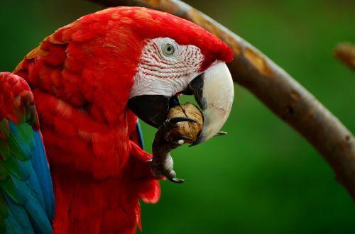 ara,papūga,raudona macaw,paukštis,spalvinga,plumėjimas,gyvūnas,raudona,raudona ara,graikiniai riešutai,krekas,valgyti,egzotiškas,spalva,gyvūnų portretas,Uždaryti,exot,makro,galva,gamta