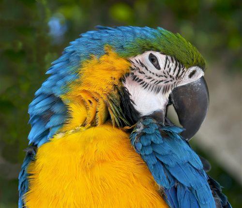 ara ararauna, mėlyna ir geltona macaw, mėlyna ir auksinė macaw, laukinė gamta, papūga, paukštis, macaw, atogrąžų, portretas