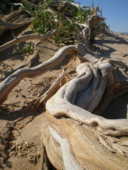 Arak medis,dykuma,sausas,sausas,šaknis