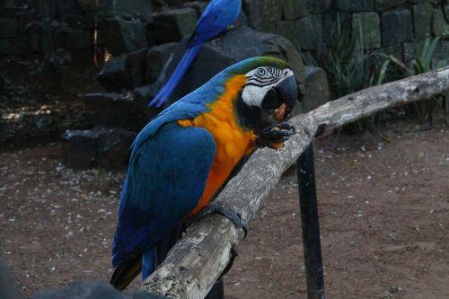 arara,mėlynas,valgymas