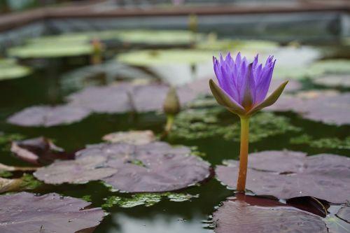 arboretum,gamintojas,botanikos sodas,lotosas,tvenkinys,vandens lelijos,gėlės,vandens augalai,tvenkinių augalai,gamta,augalai