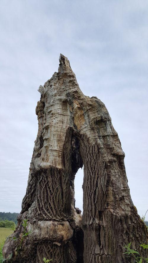 arka,gamta,mirę medžiai,medžiai,kelmas,aplinka,vėjo audra,miškas,dangus,Vašingtono valstija,lauke,mediena,lauke,galingas,mistinis