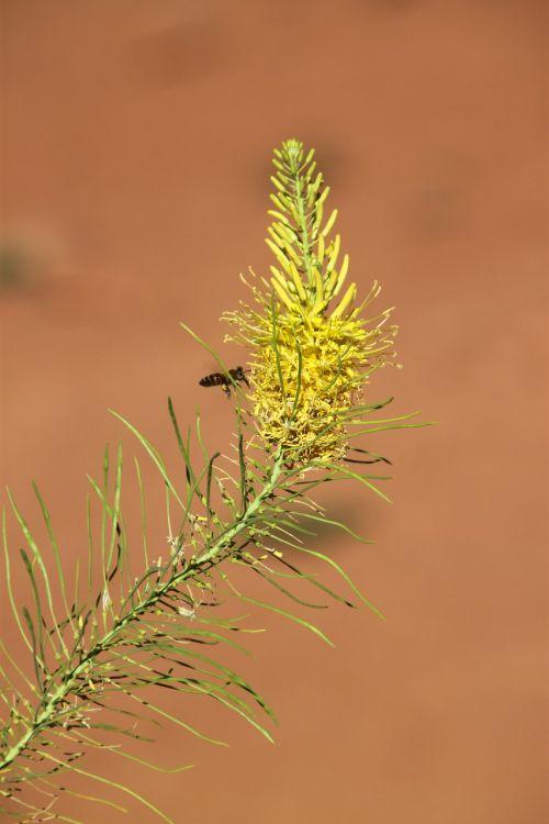 arkos,bitės,natūralus,flora,augalas,geltona,arkos nacionalinis parkas,žiedas,žydėti