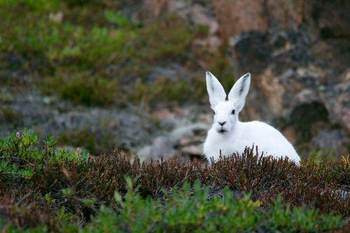 arktinis kiškis, kalninis kiškis, polar, kiškis, balta, kailis, žinduolis, laukiniai, gyvūnas, juokinga, tundra, mielas, ausys, zuikis, augmenija, šiaurinis, triušis, gamta, laukinė gamta, padaras, ilgaplaukis, arktinis