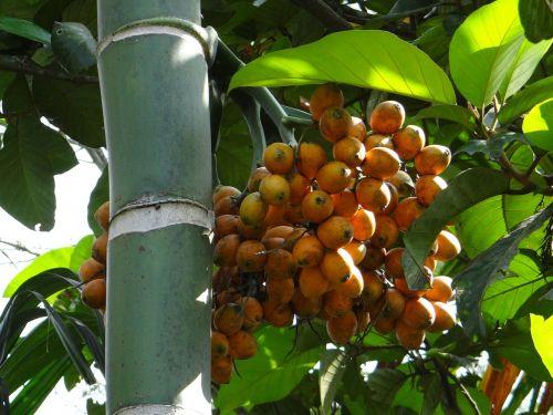 Areca catechu,Areca palmių,arca riešutų palmių,Betel palmių,vaisiai,datas,prinokę,medis,Indija