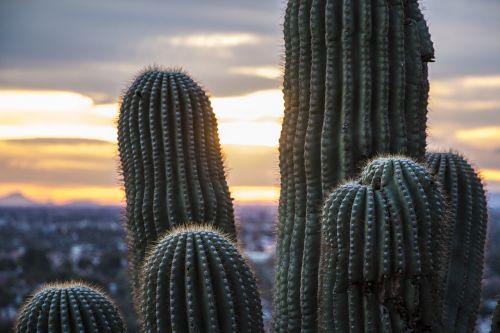 Arizonos Dykuma, Saguaro Kaktusas, Saguaro, Kraštovaizdis, Dykuma, Kaktusai, Augalas, Gamta, Arizona, Dygliuotas, Phoenix, Vakarų, Lauke, Amerikietis, Sonoran, Kaktusas, Dykuma, Pietvakarius, Dangus, Sausas, Saulėlydis, Vaizdingas, Vakaruose, Usa, Natūralus, Pietvakarius, Tucson