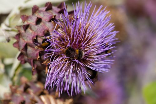 artišokas,pasėlių,cynara cardunculus,drakonas,stiprus,asteraceae šeima,asteraceae,violetinė,valgomieji,knospiro žiedadulkes,gėlių daržovės,kamanėlės,žiedas,žydėti,gėlė,violetinė
