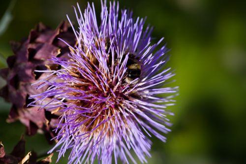 artišokas,žiedas,žydėti,gėlė,violetinė,cynara cardunculus,drakonas,stiprus,pasėlių,asteraceae šeima,asteraceae,violetinė,valgomieji,knospiro žiedadulkes,gėlių daržovės,kamanėlės