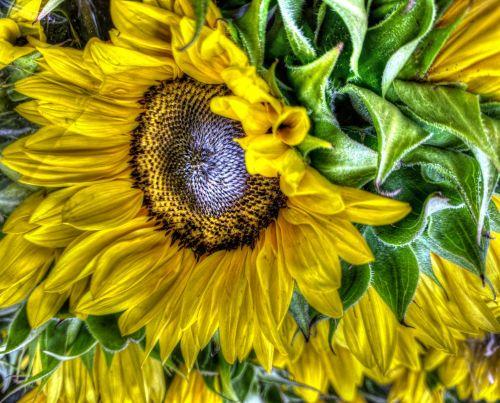 saulėgrąžos, saulėgrąžos, gėlė, gėlės, wildflower, geltona, tapybos, meninės saulėgrąžos