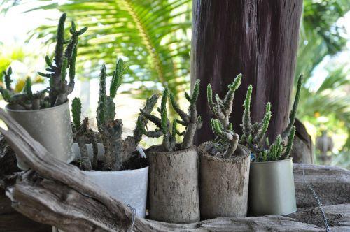 Asija, Tailandas, Kaktusas