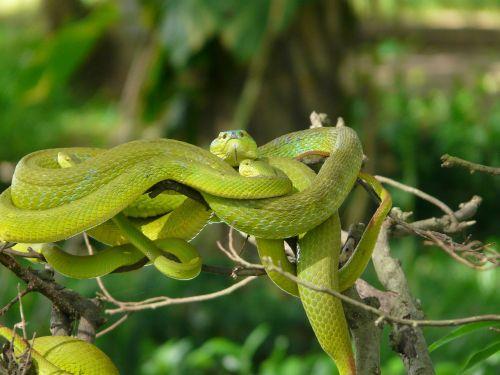 asija,gyvatės,baimė