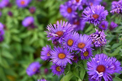 aster,lygus asteris,aster laevis,išblukęs,klestėjo,nudrus,sausas,miškas - lygus asteris,asteraceae,violetinė,violetinė,vasaros gėlė,gėlių krūmas,Daisy šeimos,sodas,ruduo,Uždaryti,gėlių sodas,kompozitai,gėlė,žiedas,žydėti,išnyks