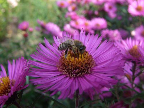 aster,bičių,herbstaras,gėlė
