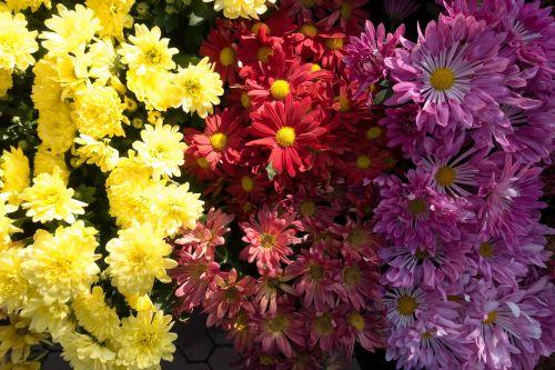 aster,gentis,asteraceae šeima,asteraceae,flora,žydintis augalas,gamta,geltona,raudona,violetinė