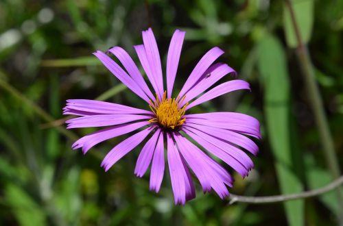 asteraceae,montane miškas,Perujos biologinė įvairovė,Peru amazonės biologinė įvairovė