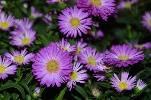 asters,herbstasternas,sodas,ruduo,rožinis,gamta,gėlės,kompozitai,vasaros pabaigoje