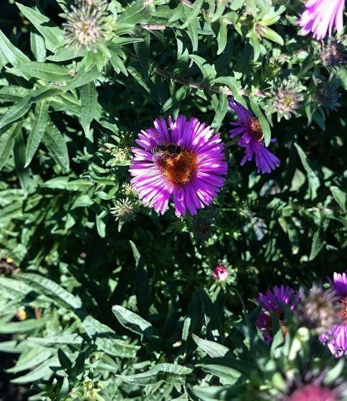 asters,sodas,ruduo,violetinė,žiedas,žydėti,Uždaryti,herbstaras,gėlės
