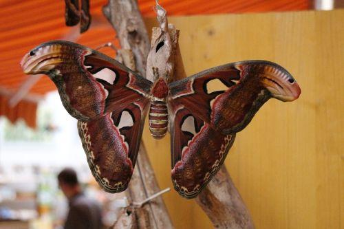 atlasas motina,drugelis,didžiausias drugelis,gamta,atogrąžų,vabzdys,egzotiškas,drugelis namas,didelis drugelis,atogrąžų drugelis