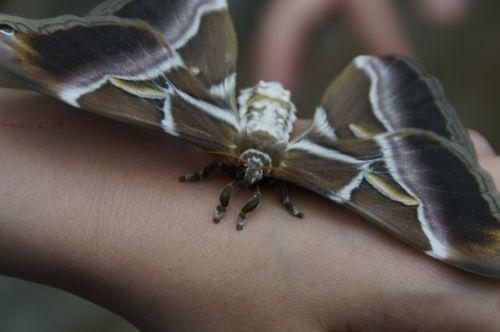 атлас атлас,drugelis,milžiniškas drugelis,atlasas motina,didžiausias drugelis,drugys,egzotiškas,vabzdys,įrašyti,pasaulio rekordas,sparno span,atogrąžų,didelis,drugelis namas,ruda,patinka gyvūnams,gamtos apsauga,meilė gyvūnams,vaikas