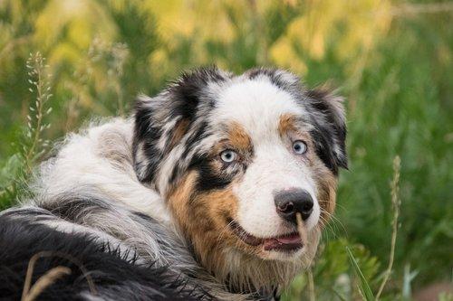 Australų aviganis, šuo, dėmėtojo, gyvūnas, pobūdį, žolė