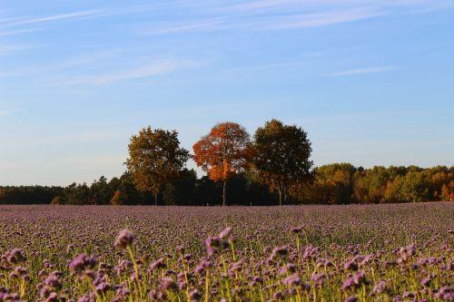 ruduo,kraštovaizdis,gamta,laukas,bitės,phacelia,aukso ruduo,kritimo lapija