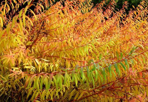 ruduo,augalas,lapai,spalvinga,gamta,kritimo spalva,aukso ruduo