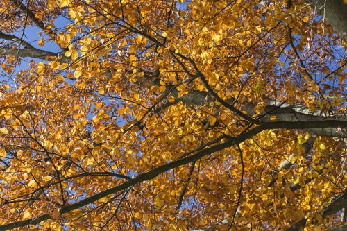 ruduo,vėlyvas ruduo,lapai,spalva,kritimo spalva,gamta,kritimo lapija,spalvinga,auksinis,saulės šviesa,atsiras,raudona,aukso ruduo,auksas